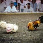 Saat Bermain Judi Sabung Ayam Online