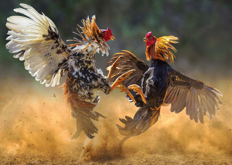 Saat Bermain Sabung Ayam