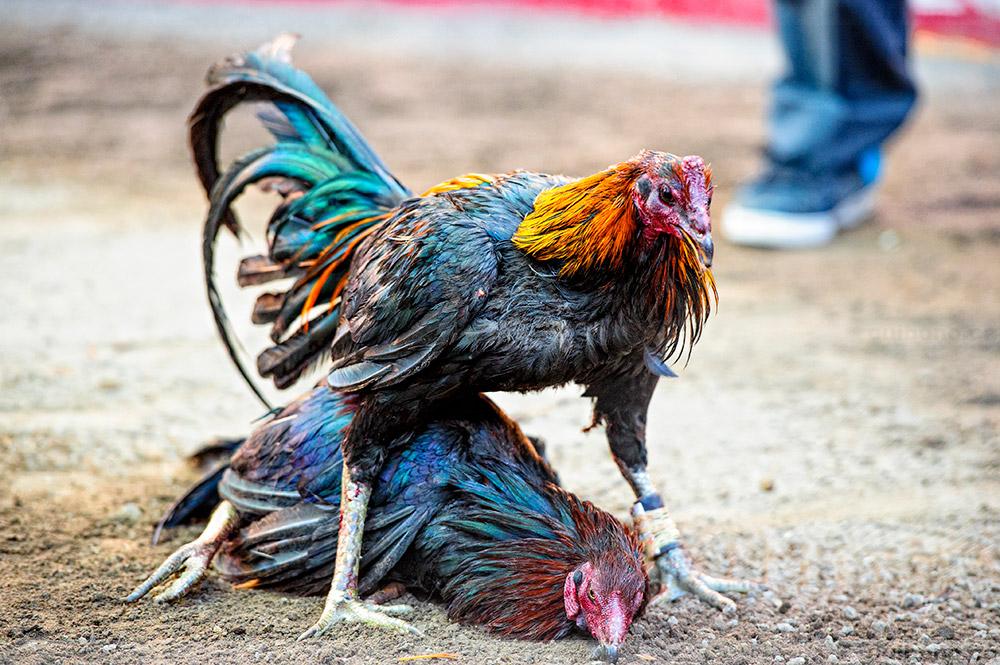 Tips Main Judi Sabung Ayam Online
